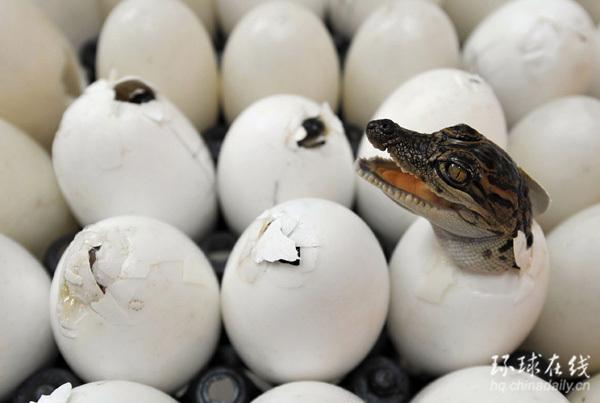 泰国一家动物园中刚刚破壳而出的鳄鱼幼崽