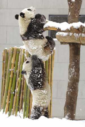 """""""团团""""(上)""""圆圆""""在雪中玩耍(2006年2月17日摄) 新华社发"""
