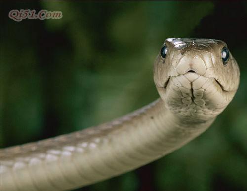 非洲死神――黑曼巴蛇