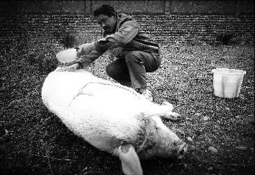 """""""奶爸""""老陈每天给坚强清洁、按摩,猪坚强只剩享受了"""