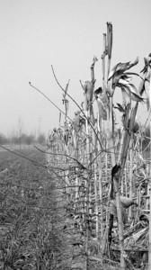 □不少田里的庄稼已干枯 晨报特派记者 李晓明 现场图片