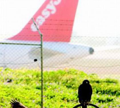 葡萄牙里斯本机场鸟多成患存安全隐患