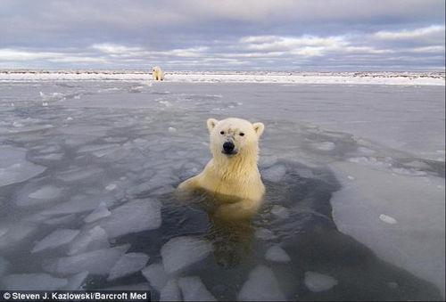 人类首次探秘北极熊的罕见生活照