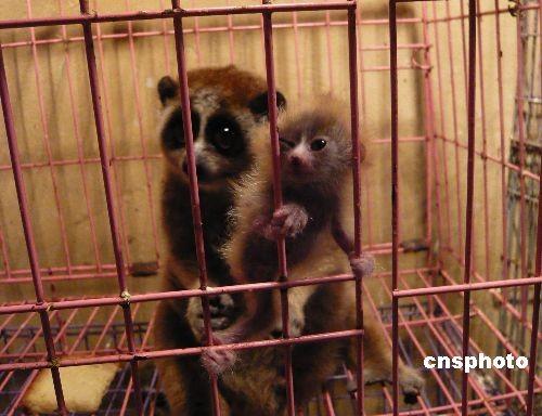 云南成功繁殖濒危动物间蜂猴(图)