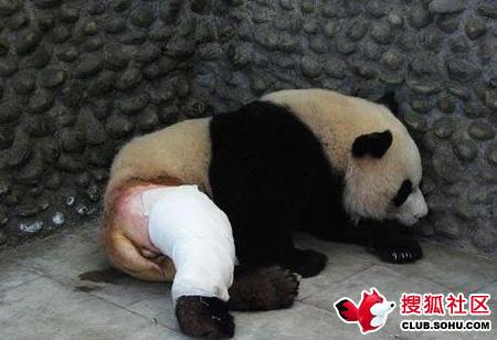 看过熊猫被剃掉毛的样子吗?哈哈!好像被人脱了裤子。一熊猫因打群架造成腿骨折,为方便治疗所以……