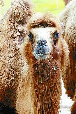 悲伤的骆驼妈妈眼角挂着眼泪.