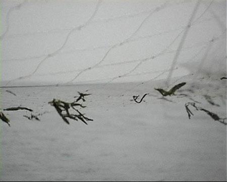 被滚钩抓住的天鹅