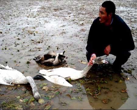被农药毒死的天鹅