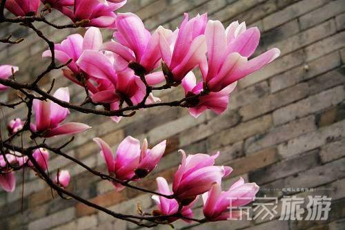 牡丹紫藤花节