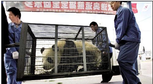 昨登机前,工作人员正要给一只胖家伙过秤。算上20多公斤的铁笼子,奥运熊猫个个接近150公斤