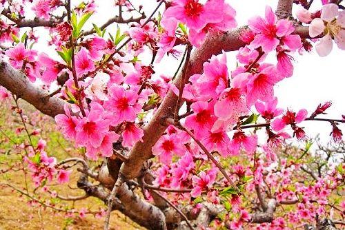 1.平谷赏桃花
