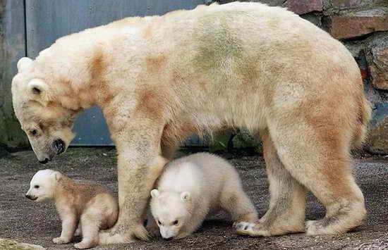 荷兰动物园北极熊双胞胎首次外出旅行(青蛙)活动照片组图是哪图片