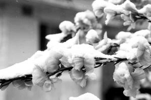 延庆昨天出现雪打花枝的美景。通讯员 贾德勇/摄