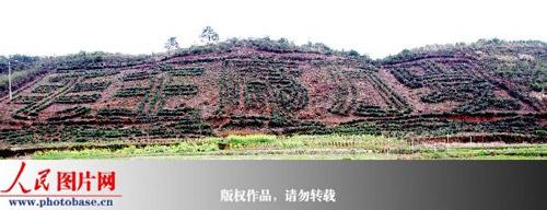 """3月30日,江西省德兴市经济开发区池口农场的山坡上,刚刚修整过的""""毛主席万岁""""五个巨型大字尤为壮观。"""