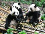 基地顽皮可爱的熊猫