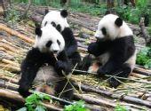 手握猫金卡免费游四川 熊猫繁育基地