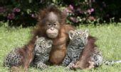 非洲猎豹幼仔与小猩猩结好友