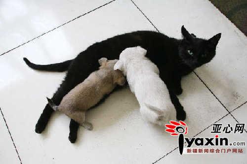黑猫正在给两只小狗喂奶。本网记者 李远新 摄