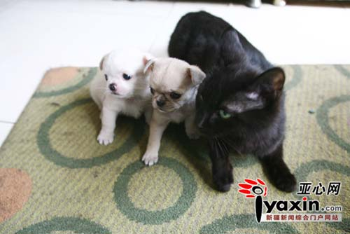 两只小狗的妈妈在生下它们后就死了,一直是由家里的黑猫充当了狗妈妈的角色,带着小狗,和黑猫形影不离。本网记者 李远新 摄