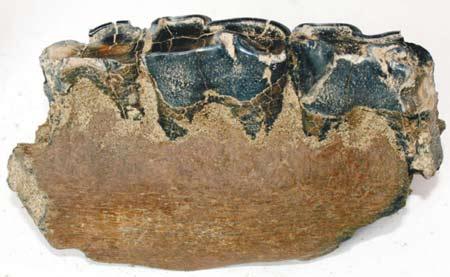 康平县两家子乡出土三块披毛犀化石,其中一块长16厘米、宽11厘米、高16厘米,表面乌亮的黑色石头上长着6颗牙齿,牙冠、牙床清晰可见。(资料片)