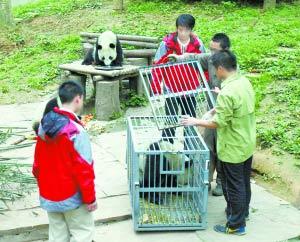 国庆大熊猫 程功摄