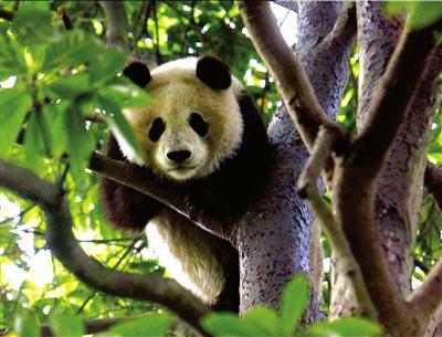 """即将离家的熊猫""""文雨""""躲到树上,直到工作人员下班时也没下树。本报记者周民摄"""