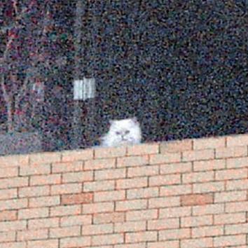 蒙嘉慧郑伊健养的波斯猫十分可爱