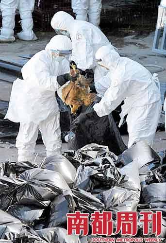2008年12月10日,香港,有关部门对发现禽流感的鸡场内鸡只进行消毒、扑杀处理。当时香港鸡场暴发禽流感,政府决定全港暂停活鸡供应21天。