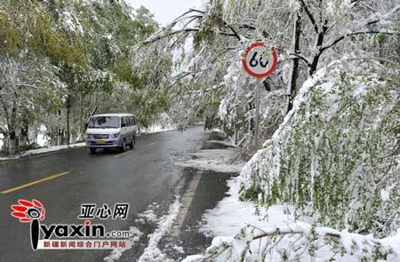 距离乌鲁木齐40多公里的南郊却下起了大雪,这场大雪压断了大量树木的枝干。亚心网记者 李远新 摄
