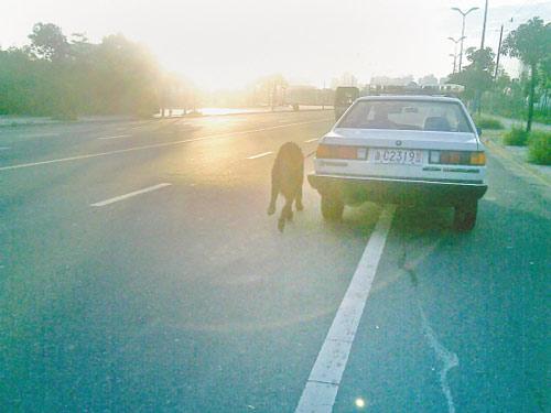 大狗紧紧跟在警车左侧。