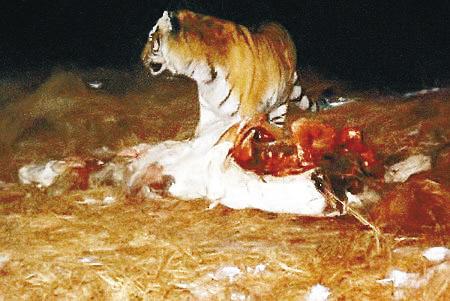 中国 野生/据新华社电野生东北虎是国际十大濒危动物之一,也是中国的国家...