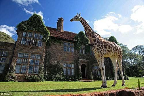 这里已成为长颈鹿公园,游客可以付钱住宿