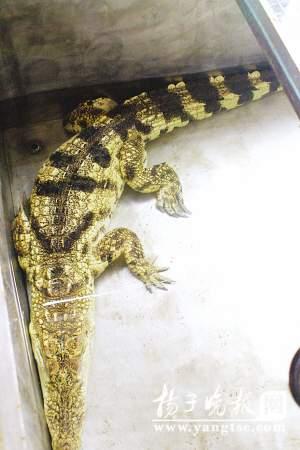 被困在狭小空间内的鳄鱼,已是萎靡不振。