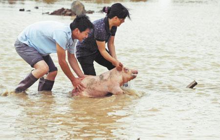 大水把猪冲进了养殖场附近的水塘中,工作人员艰难地赶猪回栏。本报见习记者 陶玉其 摄