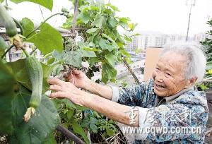 罗婆婆在楼顶经营小菜园 记者 周舸 摄