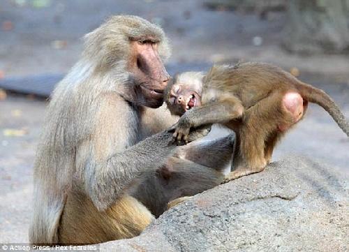 动物园新生小狒狒成明星 调皮捣蛋乐坏游客(图)
