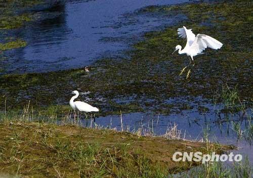 资料图:8月20日,几十只体态优美的白鹭,宛如伊人在河南开封柳园口湿地水中央的沙地上嬉戏。