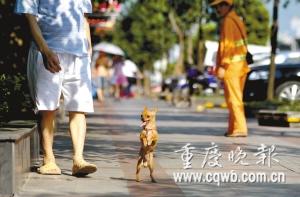 """""""丑丑""""每天直立行走陪主人散步 记者 冉文 摄"""