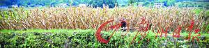 8月30日,湖南慈利,一位老人在自家绝收的玉米地里砍玉米杆。