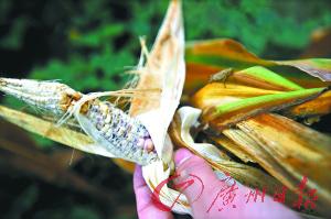 慈利当地快两个月没下雨了,很多玉米还只是刚长出包谷便枯死了。记者邵权达 摄