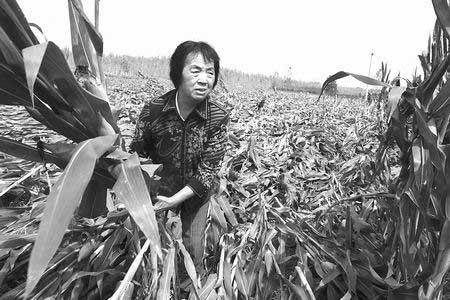 玉米倒在地,农民痛在心。