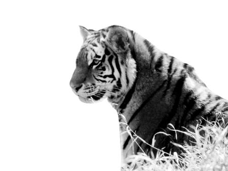 华南虎是世界十大极度濒危物种之一,全世界的野生华南虎数量估计只有