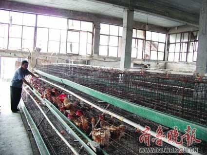 养鸡第一大户的养鸡场内仅剩下40只鸡,其他鸡笼内已经空空荡荡。 龚海 摄