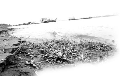 部分水葫芦,被大浪打上江边沙滩。记者苗剑 摄