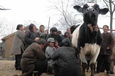 《斗牛》剧照,奶牛是自始至终线索