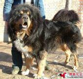 敢和狮子相媲美的大狗:藏獒(组图)