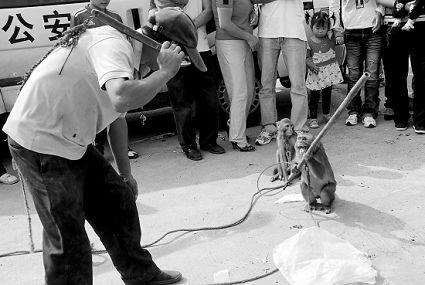 猴子手握竹棒与主人对峙
