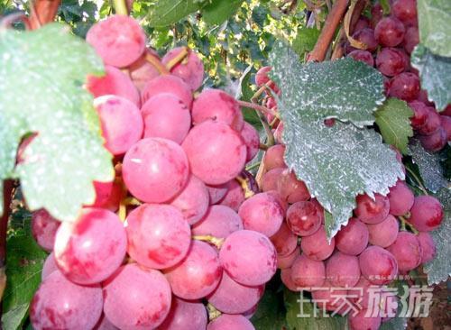 鲁各庄红提葡萄采摘园