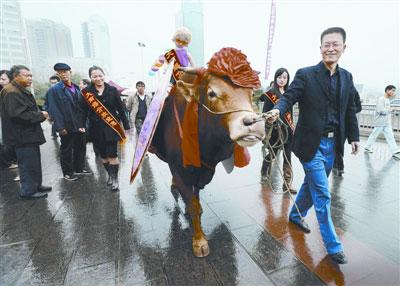 黄先生牵牛征婚招摇过市。