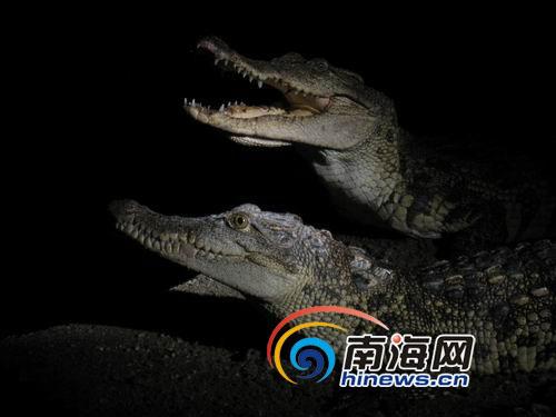养殖场的鳄鱼见到人就张口示威(南海网记者 杨振东摄)